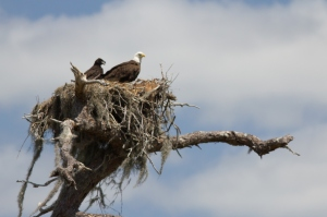 eagle-baby-in-nest