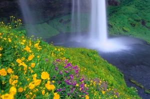 Seljalandsfoss Falls and Wildflowers, Iceland-849072