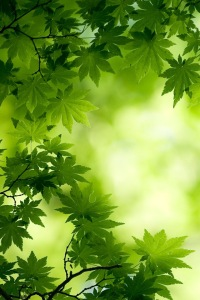 Green-Maple-Leaves-Bokeh